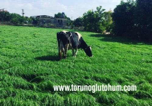 Ot Tipi Teff Grass Tohumu Fiyatları